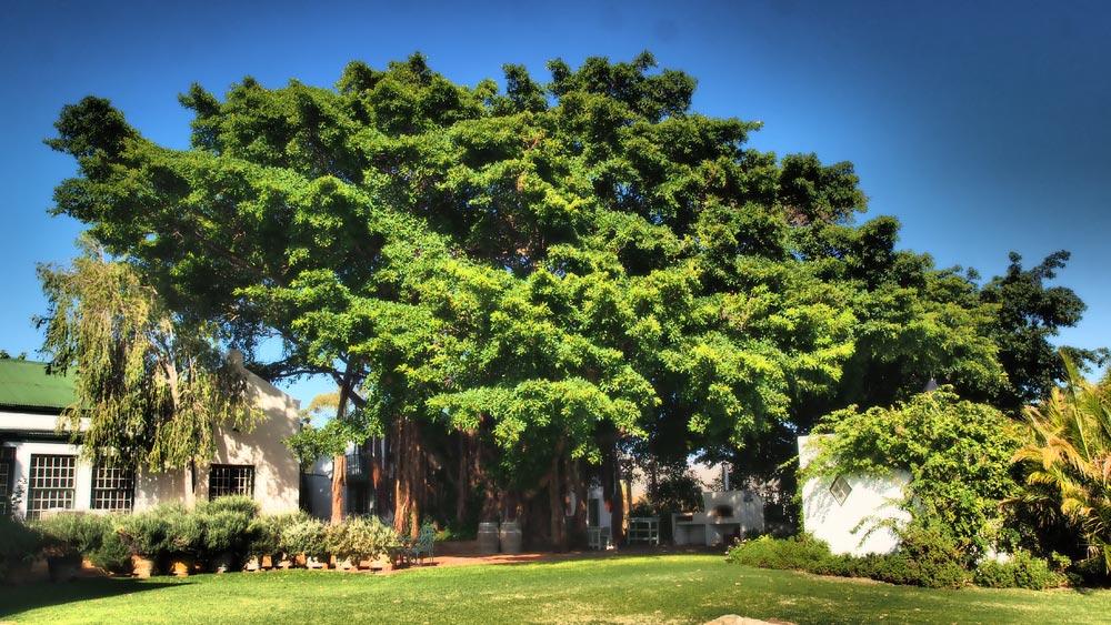 MCG-MEANDER-TANAGRA4-Wild-Fig-Tree-